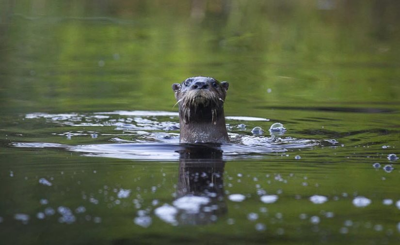 A river otter peeking out of the water looking at the camera
