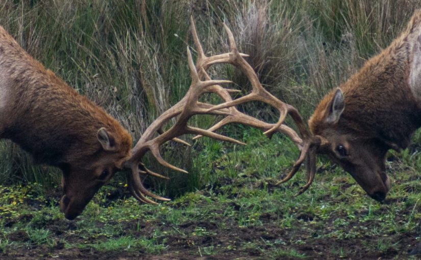 Two elk engaged in an antler sparring contest at a Pennsylvania elk viewing area