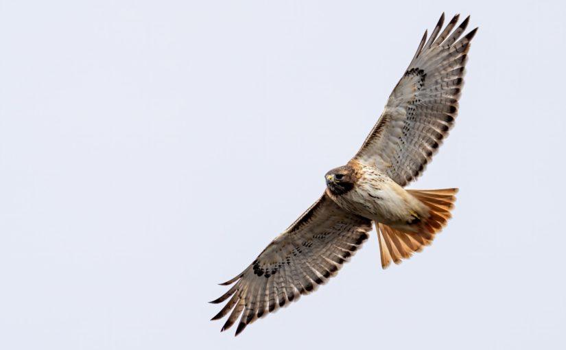 Hawk Watching in PA